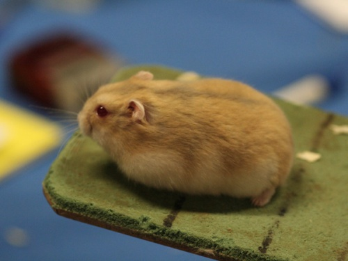 white dwarf hamster with red eyes - photo #3